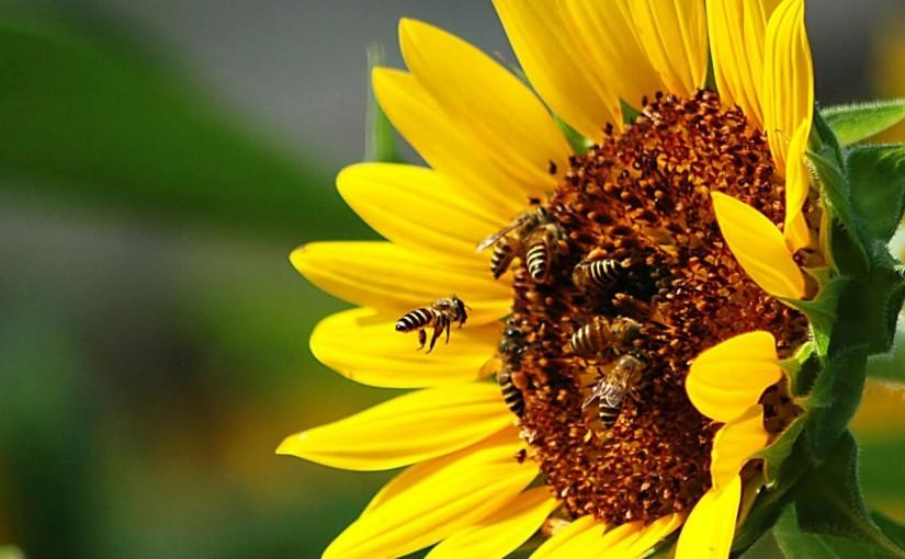 ONU alerta para a necessidade de proteger abelhas
